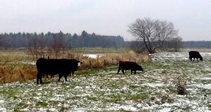 Ces 4 vaches (pour 3 têtes!) du Centre-du-Québec n'ont aucun rapport avec le texte... quoique peut-être qu'elles aussi prennent des résolutions pour 2015?!